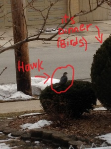 The evil hawk stalking the welfare birds, looking for a quick lunch.