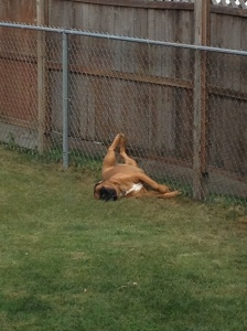 Duke-my only loyal roommate left, bro-ing out in the backyard, basking in the sun.